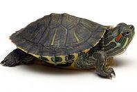 Моя домашня червоновуха черепаха